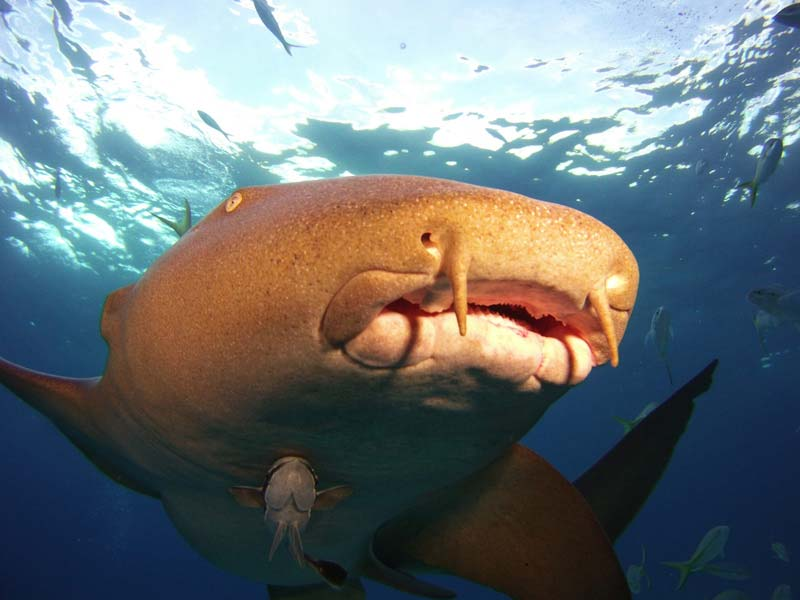 Nurse shark shot on SeaLife underwater camera