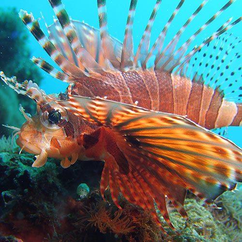 lionfish sealife underwater camera photography