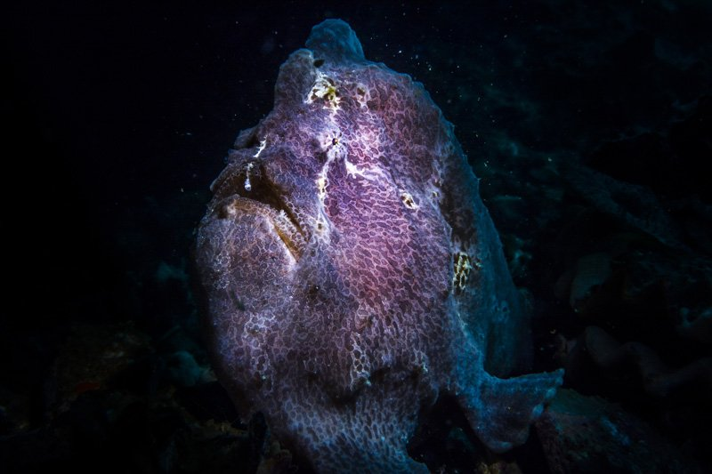 frogfish malapascua philippines underwater photography sea dragon 2100 dual beam light